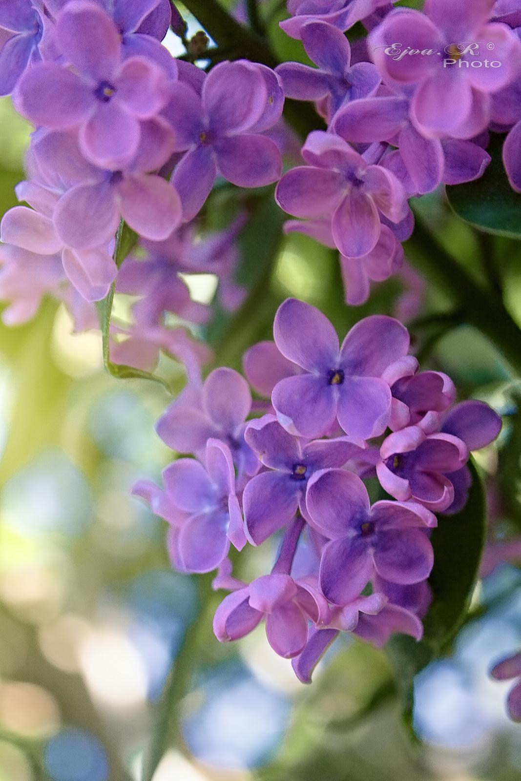 Májusi illatos orgona virágok