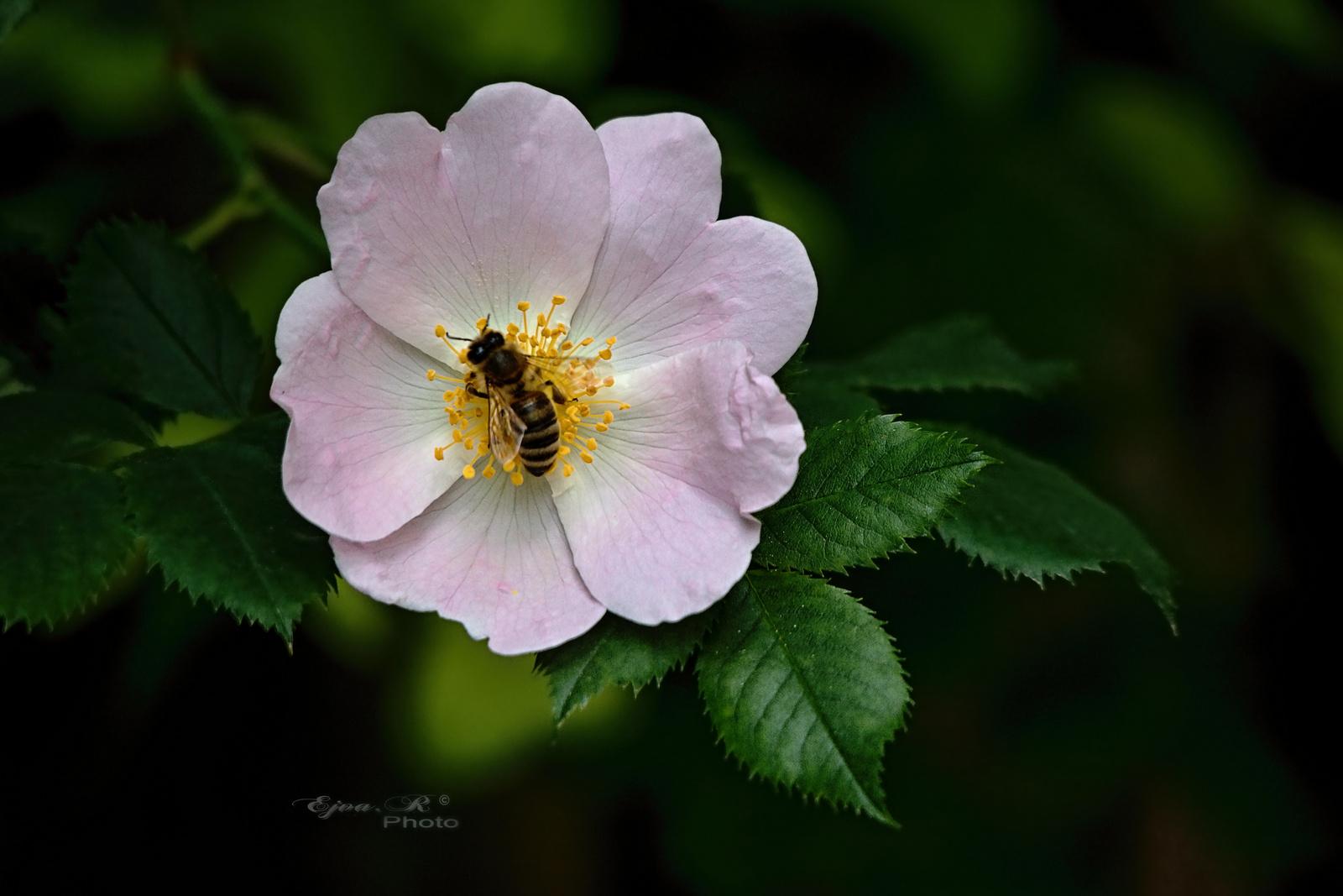 Vadrózsa Méh Virág
