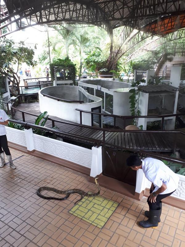 A királykobra a világ leghosszabb mérgeskígyója. Testének eleje akár az ember magasságáig is fel tud emelkedni.