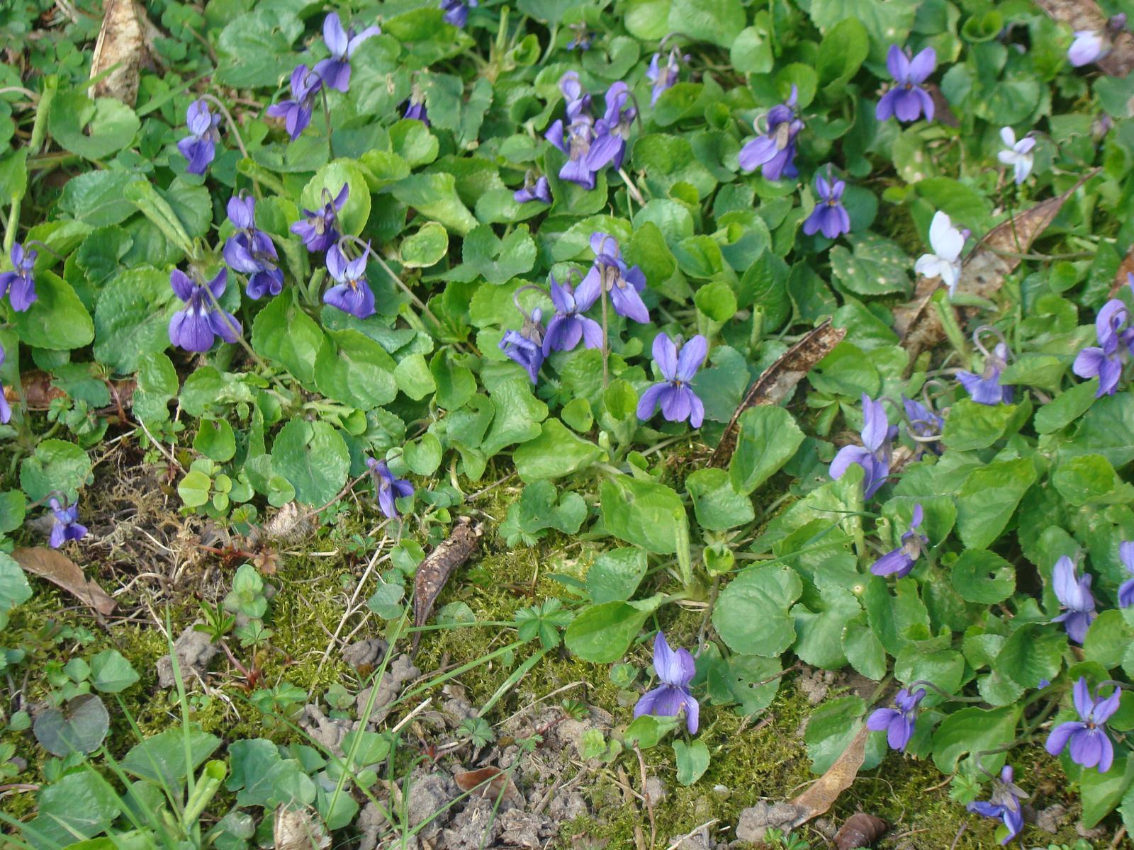 2021 marcius 15. Violettes