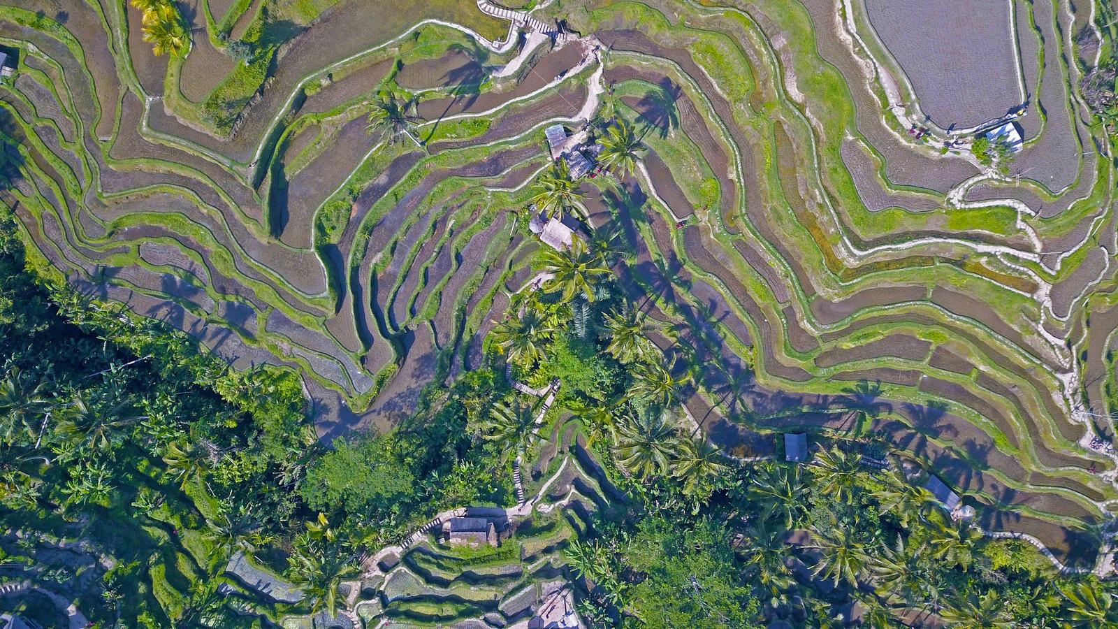 A csodálatodsTegalalang rizsteraszok