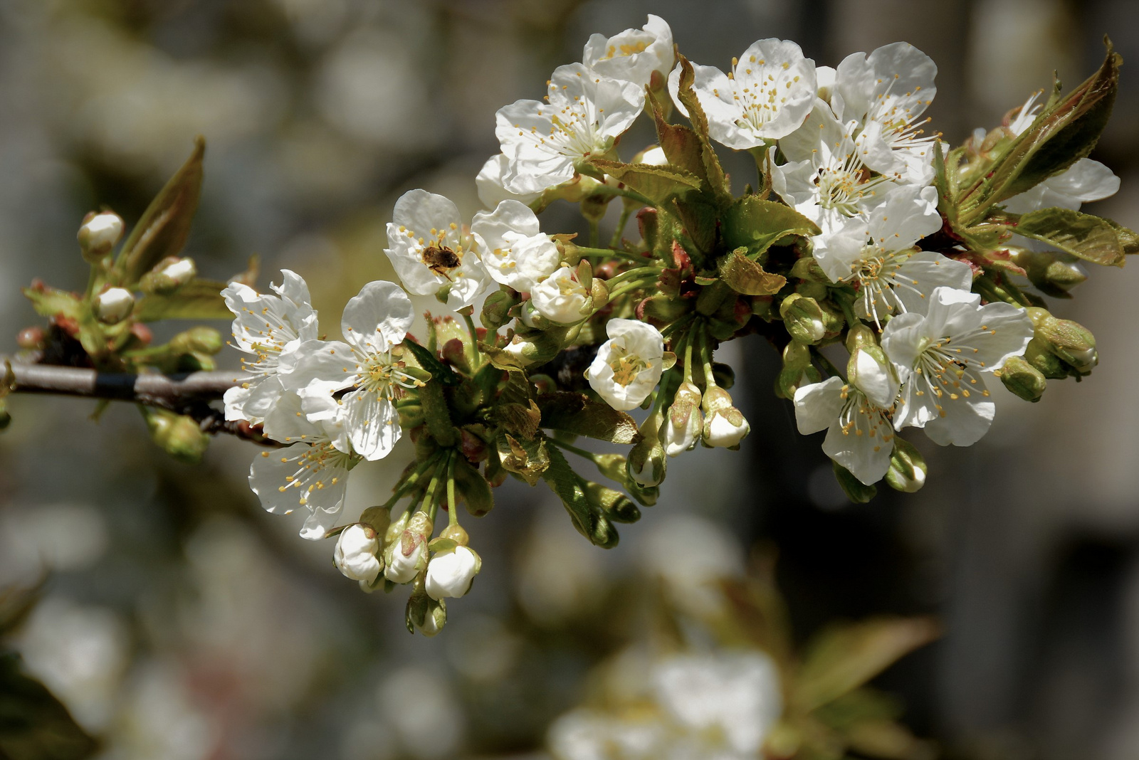 Cseresznyefa ága