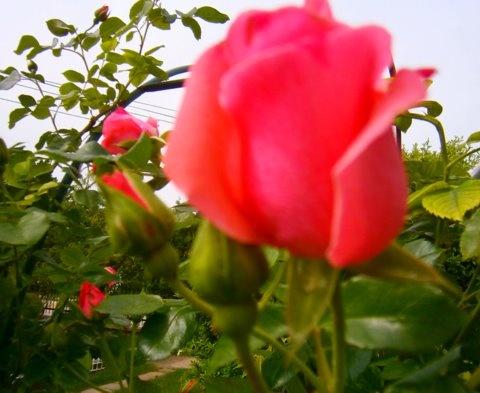 futó-rózsám