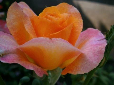 rózsa sorozat 1