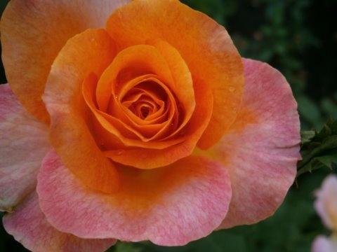 rózsa sorozat 2