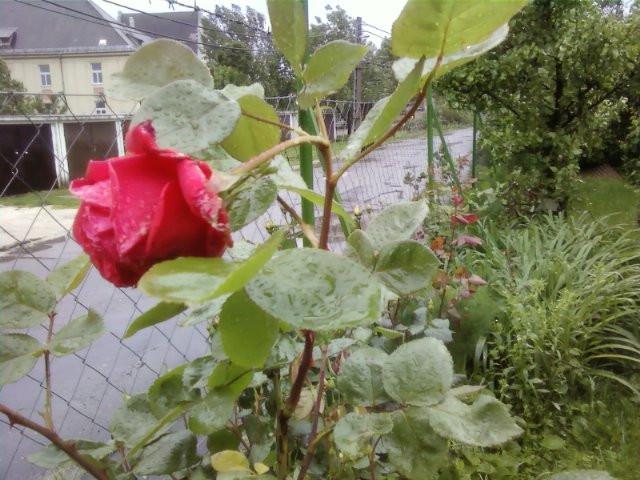 rózsaviharban