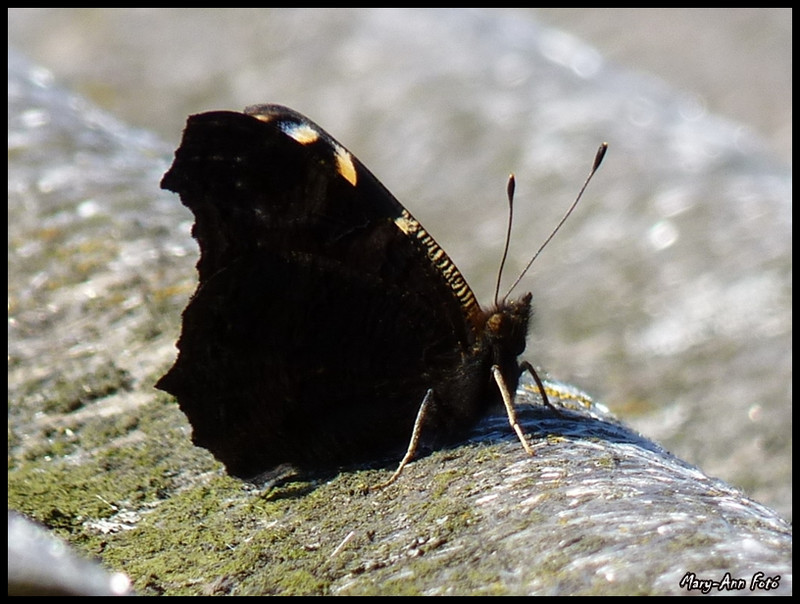 Pillangó 003