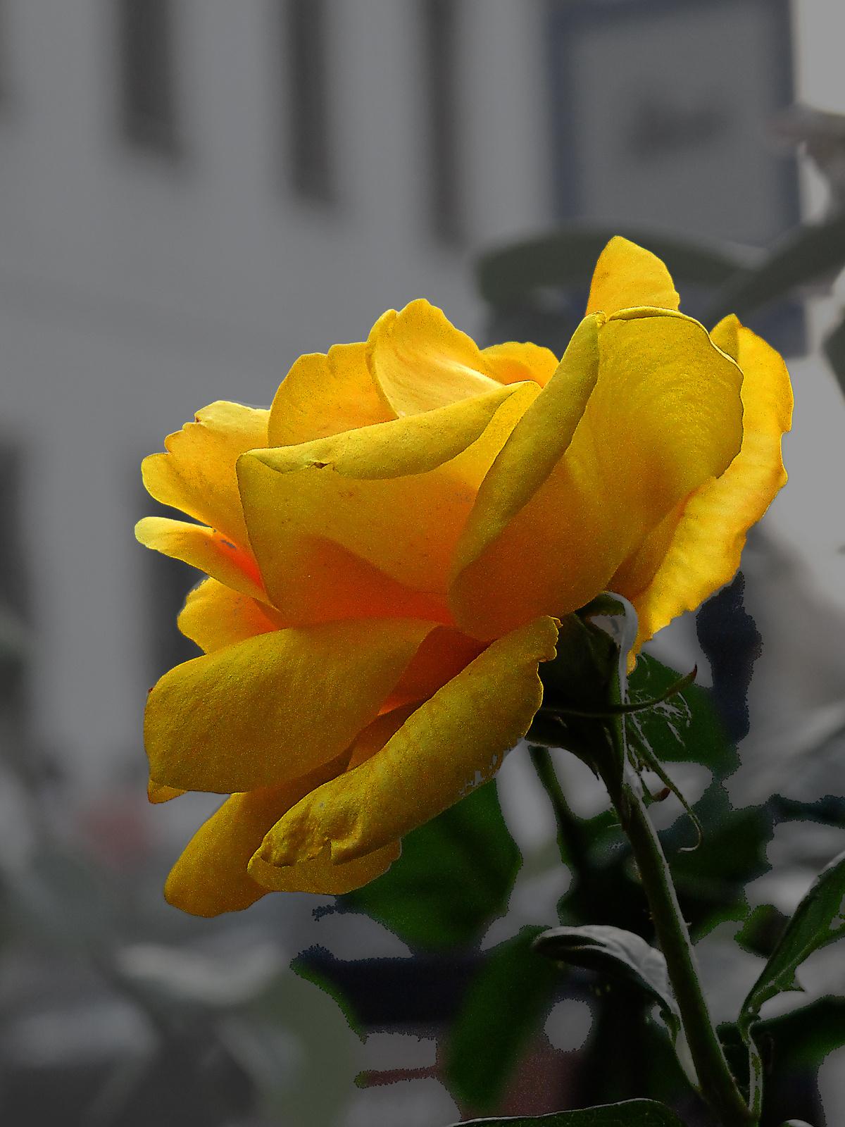 még egy rózsa