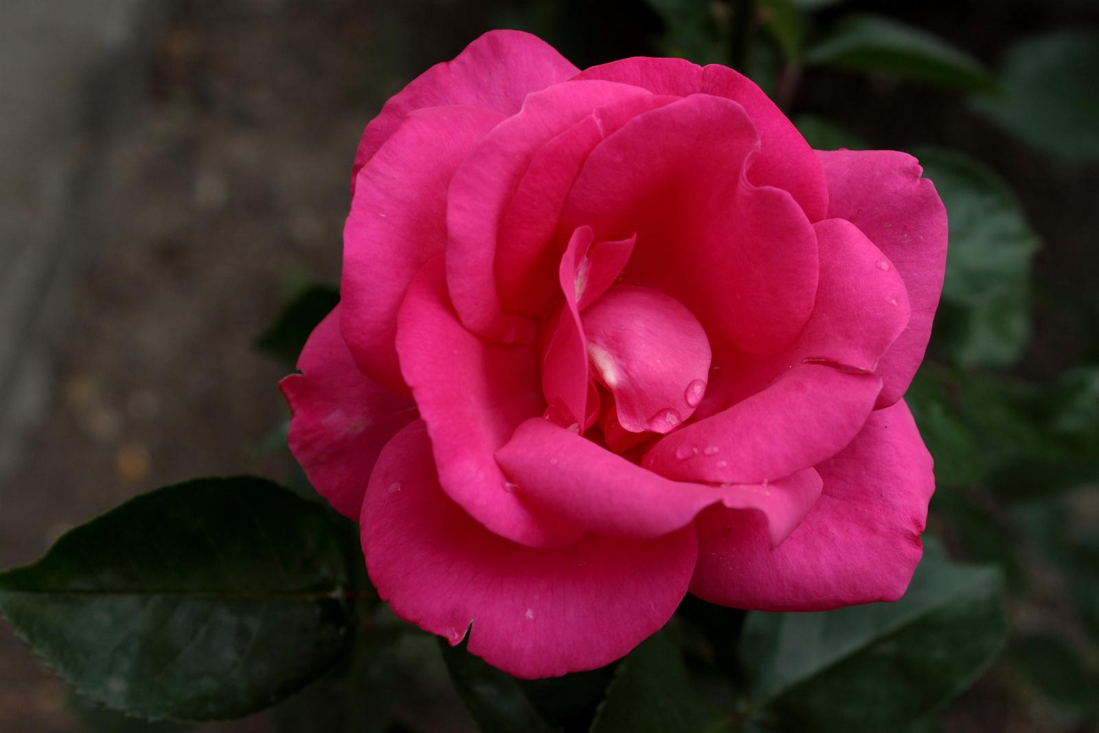Sötét rózsaszín