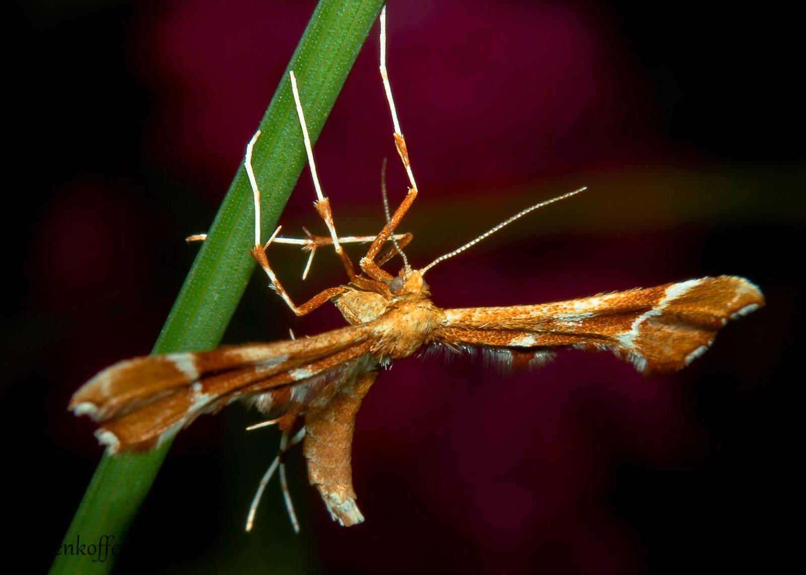 rózsabogyó-tollasmoly (Cnaemidophorus rhododactyla) IGP8498.G