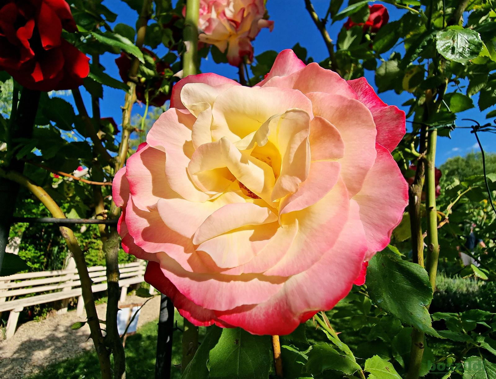 Miskolc, Tündérkerti rózsa