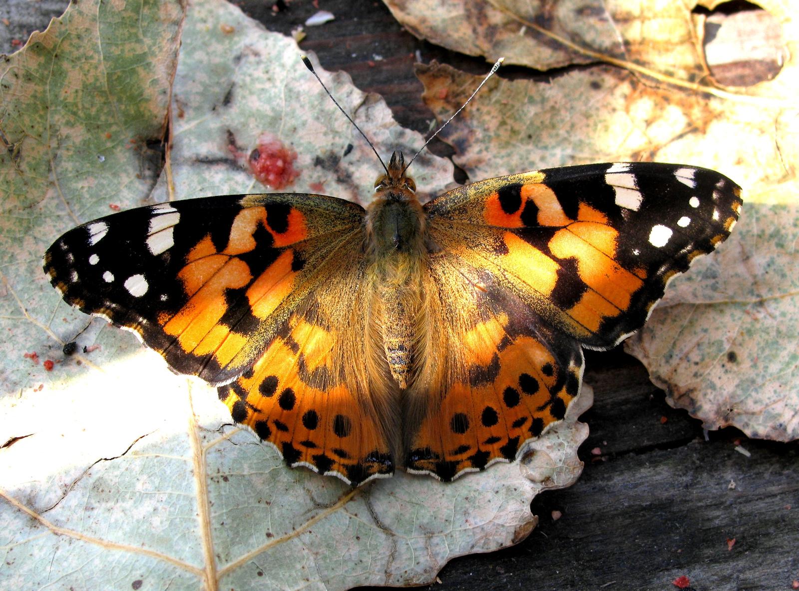 kitartó pillangó