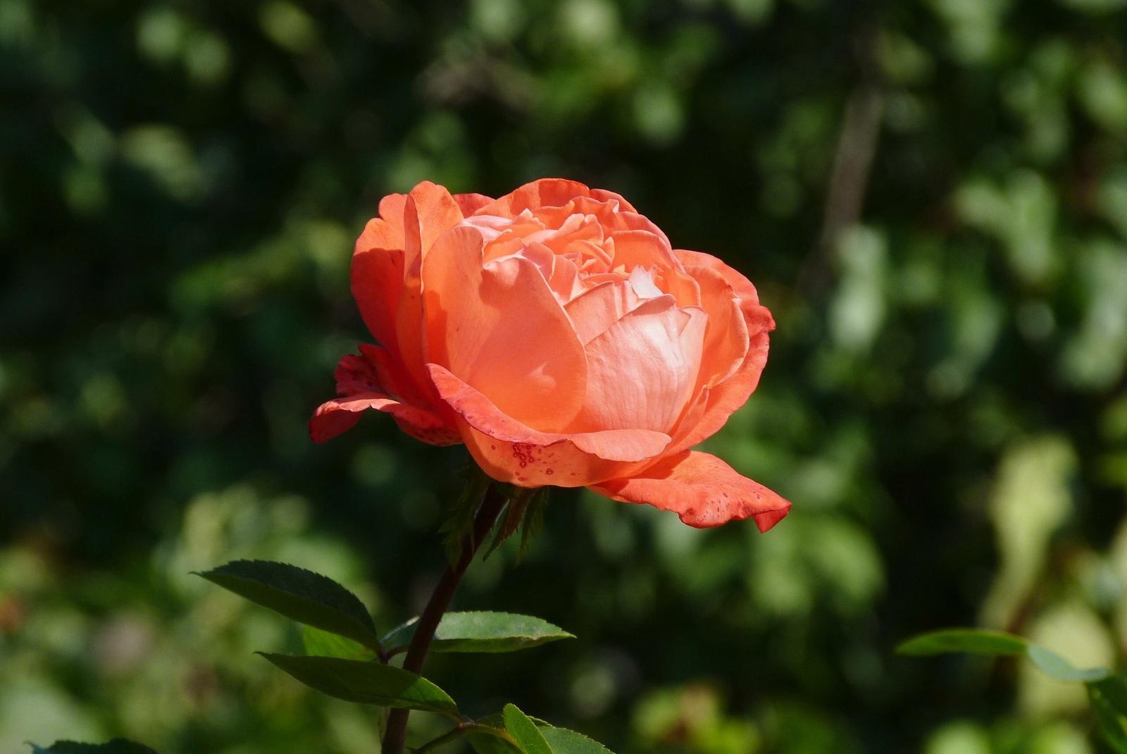 őszi rózsa