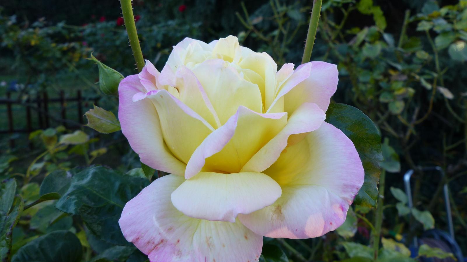 Őszi rózsák az otthoni kertünkben, SzG3