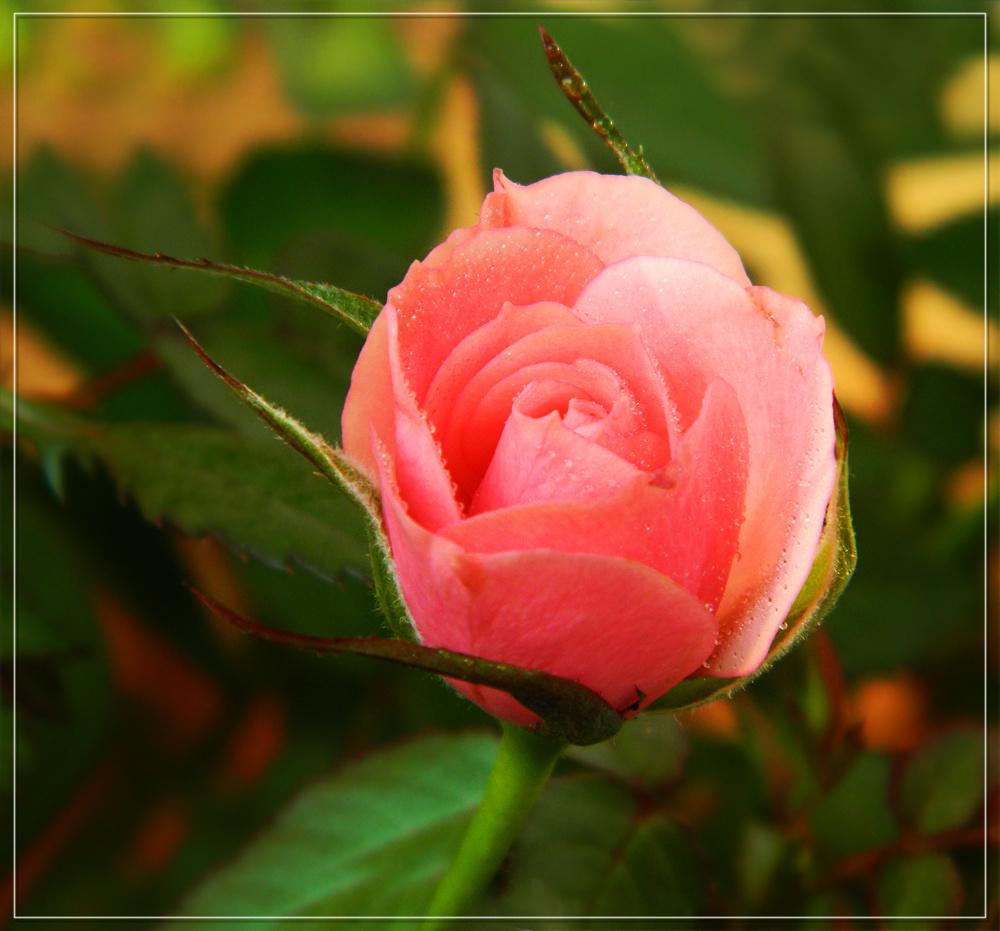 Rózsa(szín álom....)