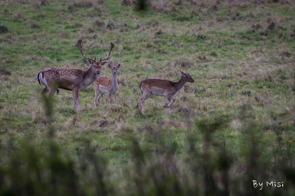 Charlecote deer-14