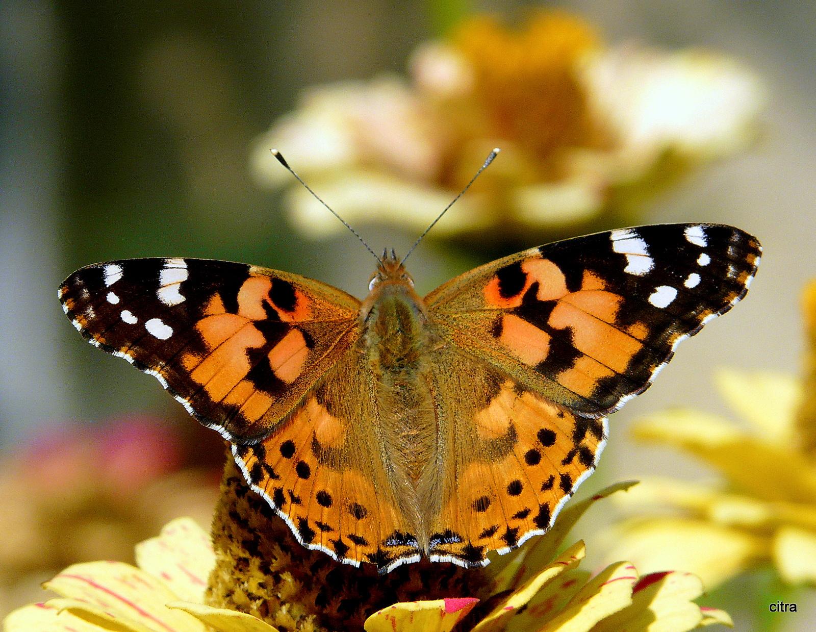 Pillangós virágzat