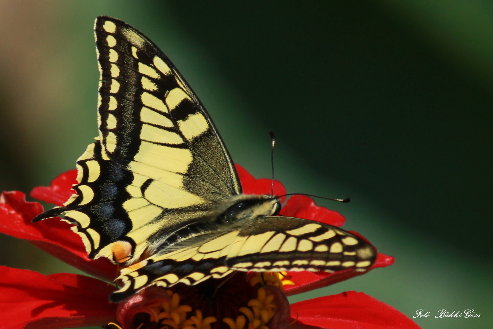 Fecskefarkú pillangó