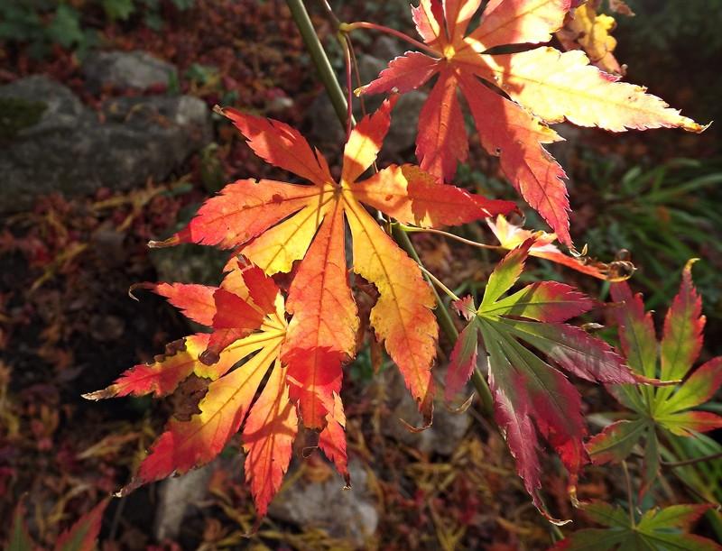 Ujjas juhar levelek ellenfényben