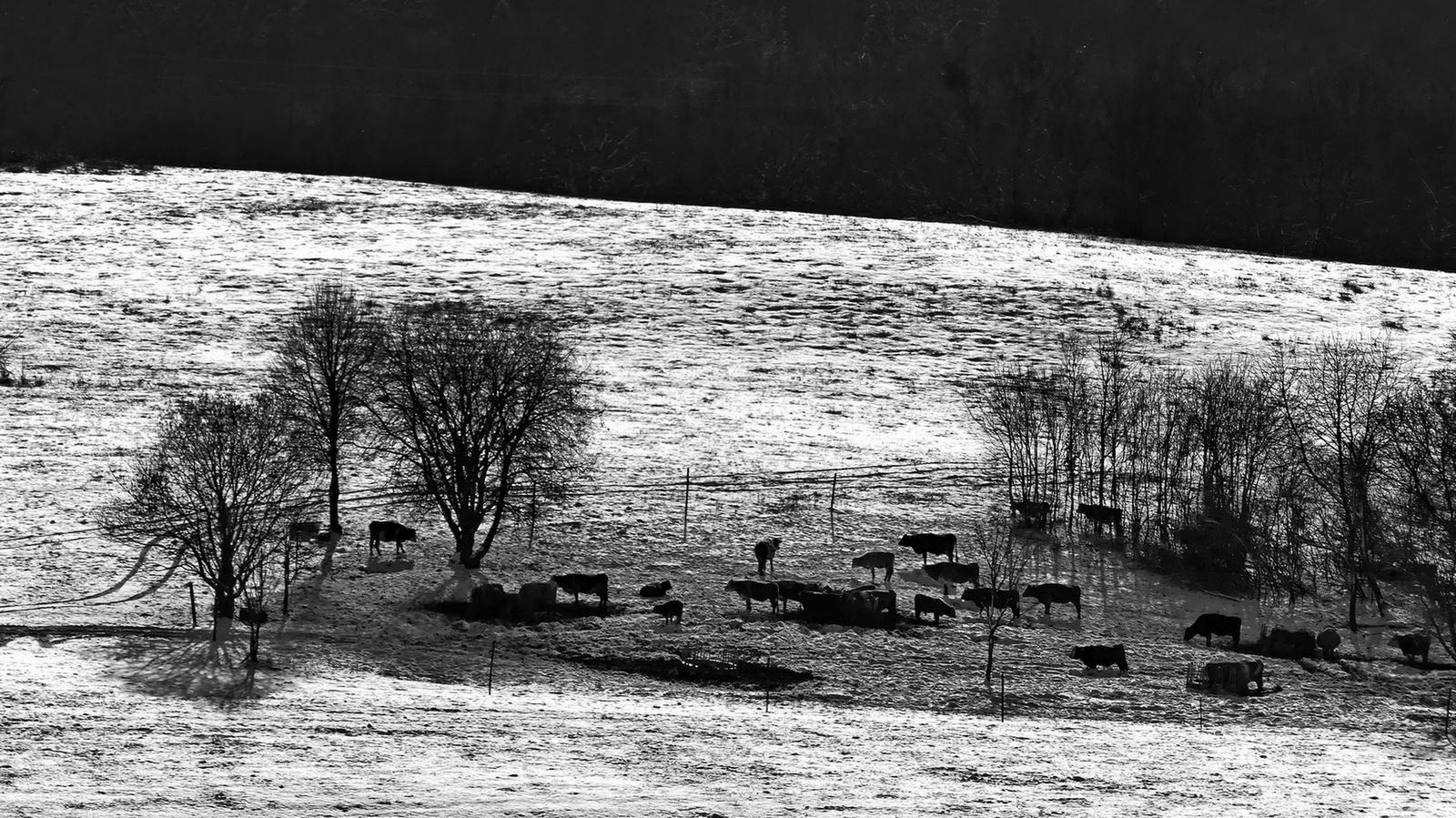 07 Telelő tehenek