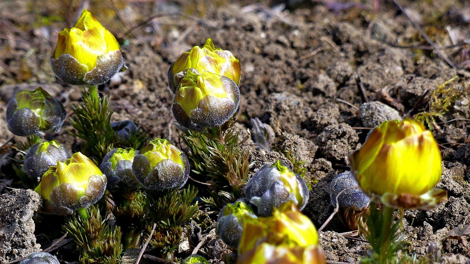 04 Bimbózik a tavaszi hérics