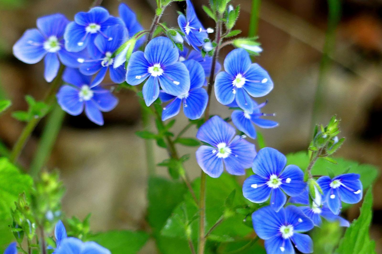 03 veronikafű virágai