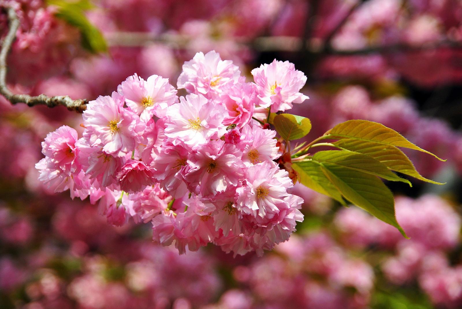 Cseresznyevirág(on)
