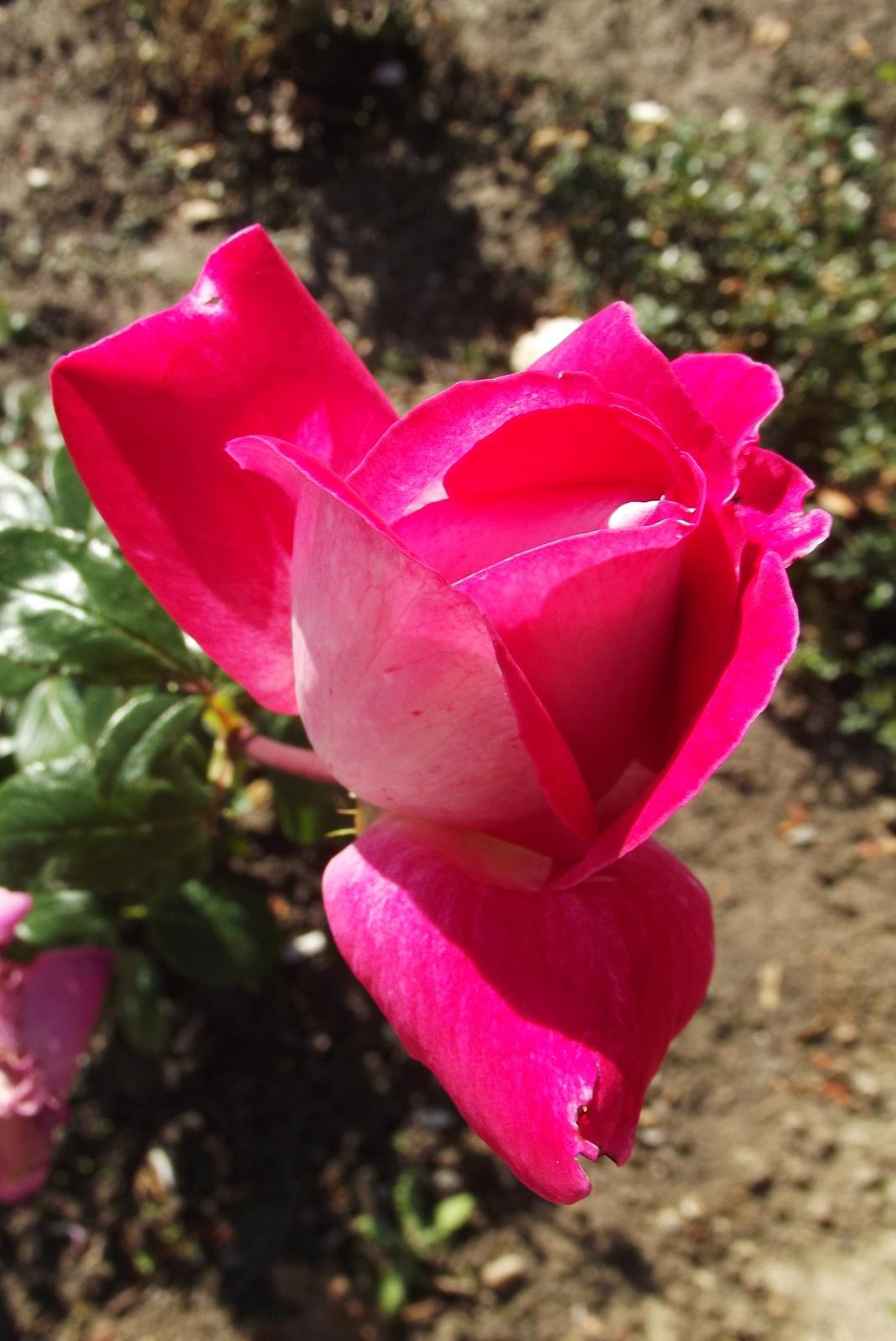 Rózsák 17.
