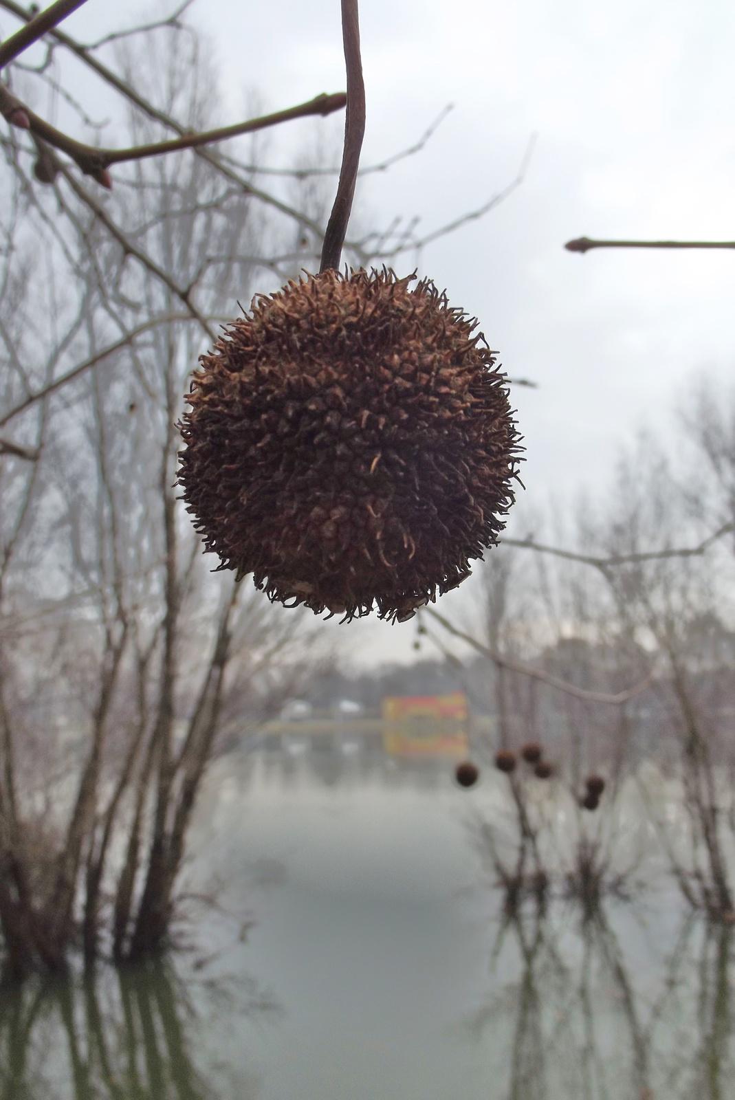 Platánfa termése