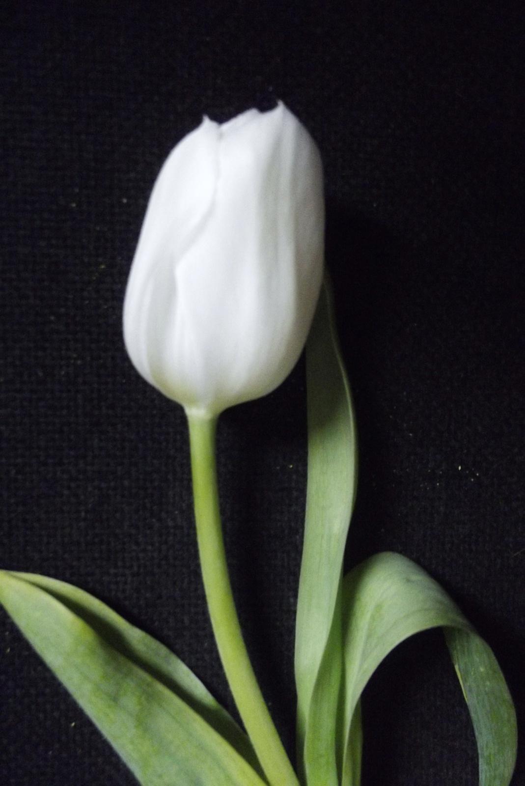 1 szál hófehér tulipán
