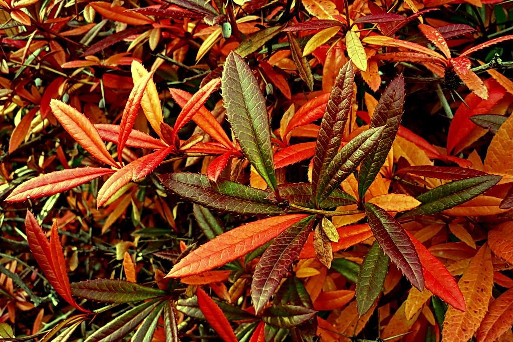 Bordó levelek