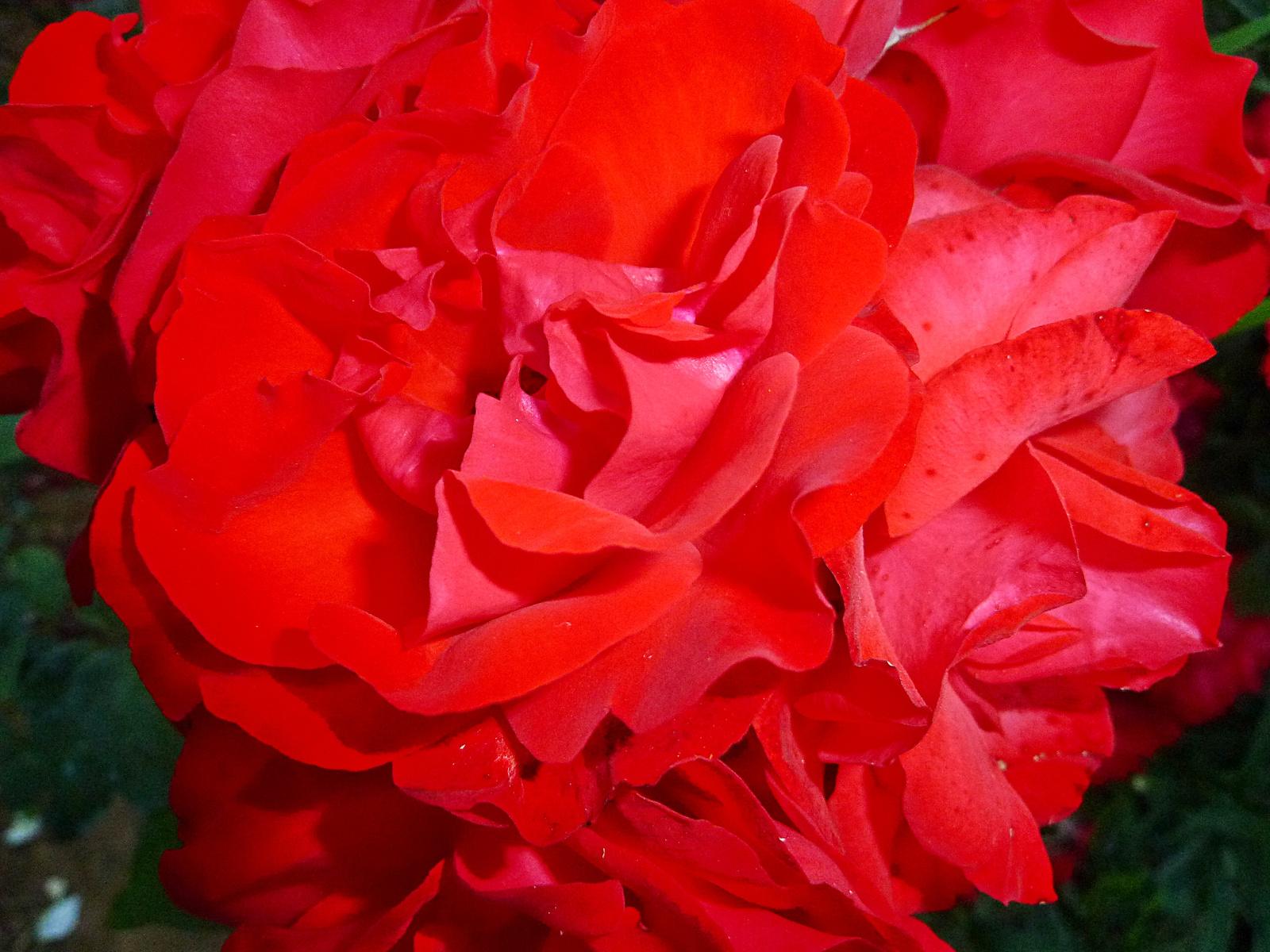 P1120611 rózsa