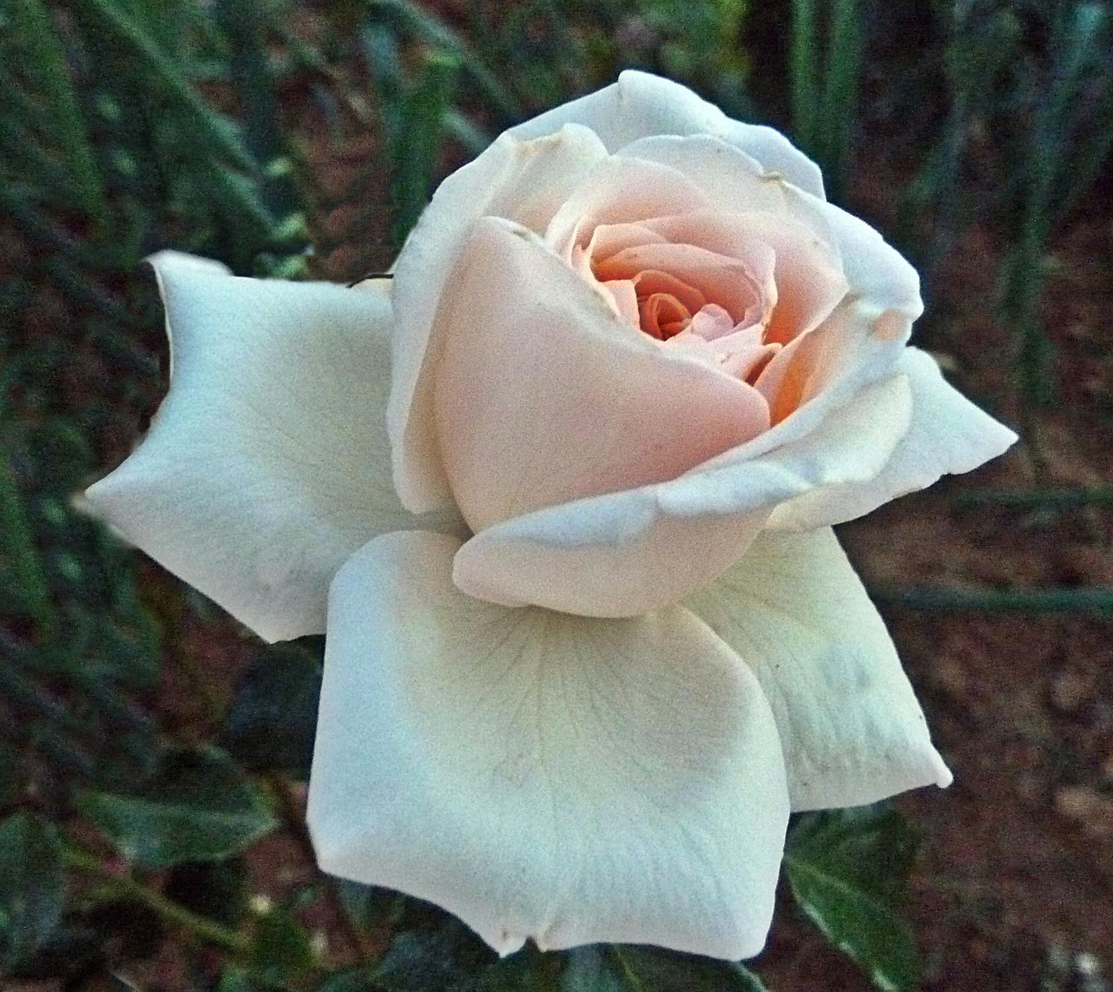 P1120608 rózsa