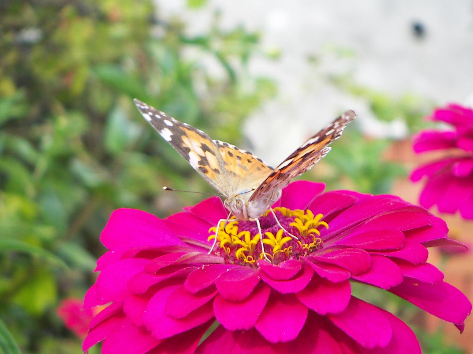 Pillangó egy vasvirágon
