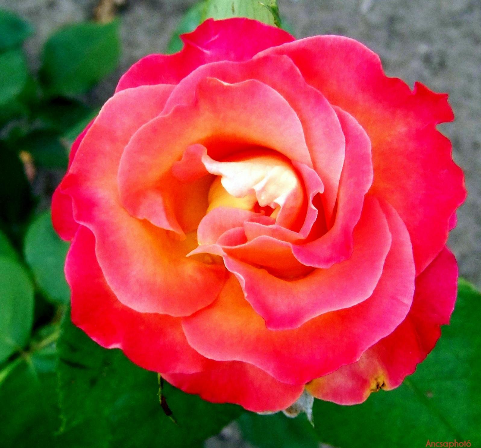 Rózsika